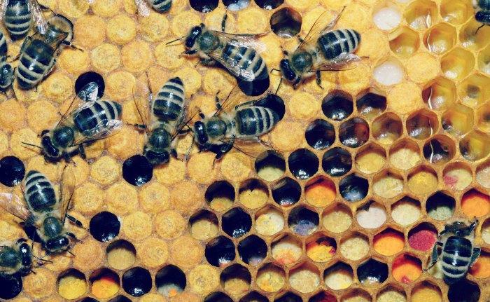 Pollen_in_Wabe_31b