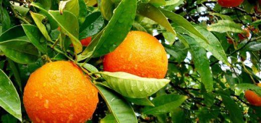 Citrus Trees For Sale